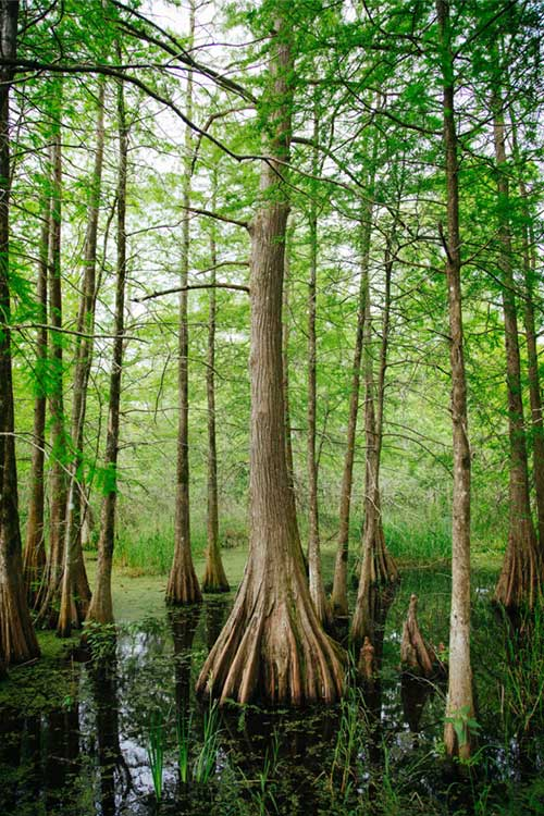Large tall trees in wetlands, Horizon Environmental Services Wetlands Services