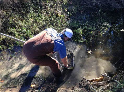 Worker using net in creek, Horizon Environmental Services Protected Species Services