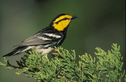 Close up of Golden-Cheek Warbler